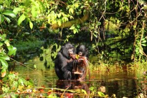Bonobos 150804073656_1_540x36