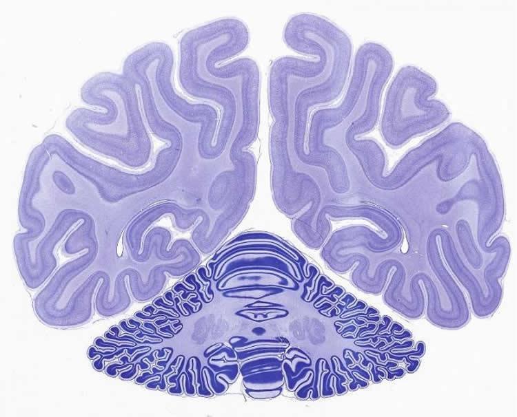 cerebellum-primate-brain-neurosciencenews